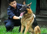 德国牧羊犬忠诚职守的警犬图片
