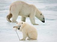北極熊生存現狀:氣候變化構成致命威脅