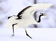 美丽的丹顶鹤图片高清壁纸