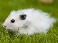 可爱小白鼠毛茸茸图片