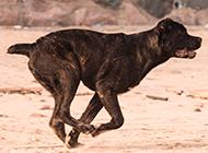 兇猛的狗卡斯羅犬奔跑圖片