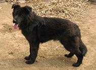 身材健壮的黑熊犬图片欣赏