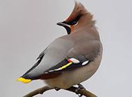 调皮机灵的小太平鸟图片