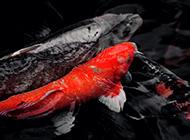 日本錦鯉相親相愛圖片