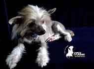 中国冠毛犬娇小外观图片