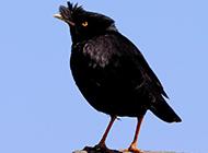 姿态优美的海南八哥鸟图片