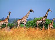 非洲大年夜草田野发展颈鹿图片观赏