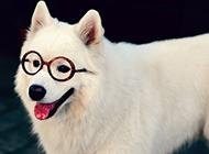 薩摩耶犬可愛賣萌圖片