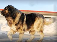 兇猛無比的大型高加索犬圖片
