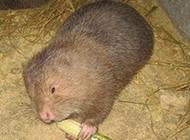 中華竹鼠吃竹子圖片