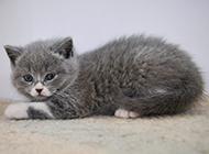 蓝白英短猫乖巧友善图片