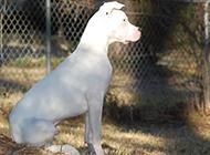 威严耸立的纯种杜高犬图片