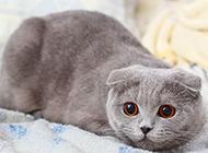 灰色蘇格蘭折耳貓警惕表情圖片