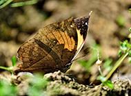 颜色特别的枯叶蝴蝶高清摄影图片