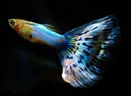 蓝礼服孔雀鱼图片小巧玲珑