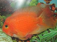 水里游動的熱帶鸚鵡魚圖片