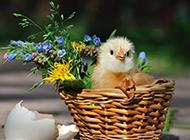 呆萌可愛的小雞圖片壁紙