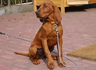 听话受训的英国寻血猎犬图片