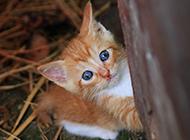 可愛的中華田園貓幼崽圖片