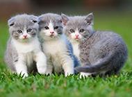 纯种英短猫图片模样迷人可爱