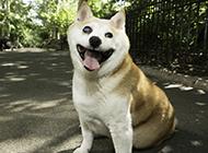招人喜愛的柴犬白眼圖片