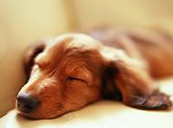 纯种金毛寻回犬趴着睡觉图片