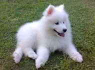 超可愛的薩摩耶犬高清圖片