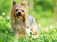 调皮撒娇的约克夏幼犬图片