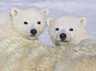 冰雪世界里的小北極熊圖片