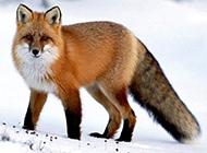 可爱狐狸图片写真作品