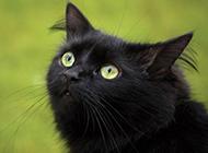 孟買貓可愛迷人圖片