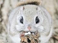 圓滾滾的動物日本小鼯鼠圖片