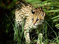 純種孟加拉豹貓野外棲息圖片