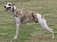 優雅高貴的惠比特犬圖片