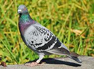 精壯矯健的亮灰色信鴿圖片