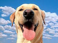 高清純種拉布拉多犬圖片壁紙