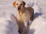 雪地中的拉布拉多犬高清圖片