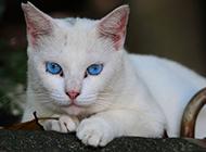蓝眼白猫的图片萌萌哒