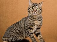 狸花猫优雅气质图片精选