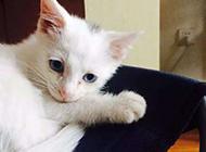 超萌蓝眼白猫懒洋洋图片