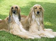 阿富汗猎犬懒洋洋图片