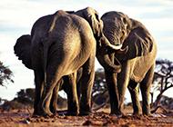 野生大象高清动物图片