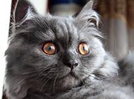 表情呆萌无辜的极品金吉拉猫图片