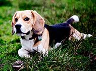 米格魯獵兔犬堅定眼神圖片