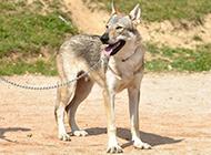 捷克狼犬帅气回眸图片