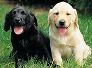 懶洋洋的拉布拉多犬幼犬圖片