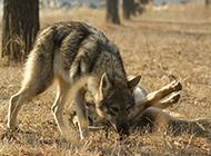 捷克狼犬野外狩獵圖片