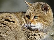 亚洲金猫神情专注图片