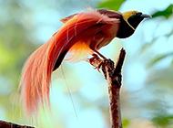 鸟类动物天堂鸟的图片