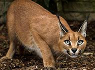 非洲狞猫动作敏捷迅猛图片